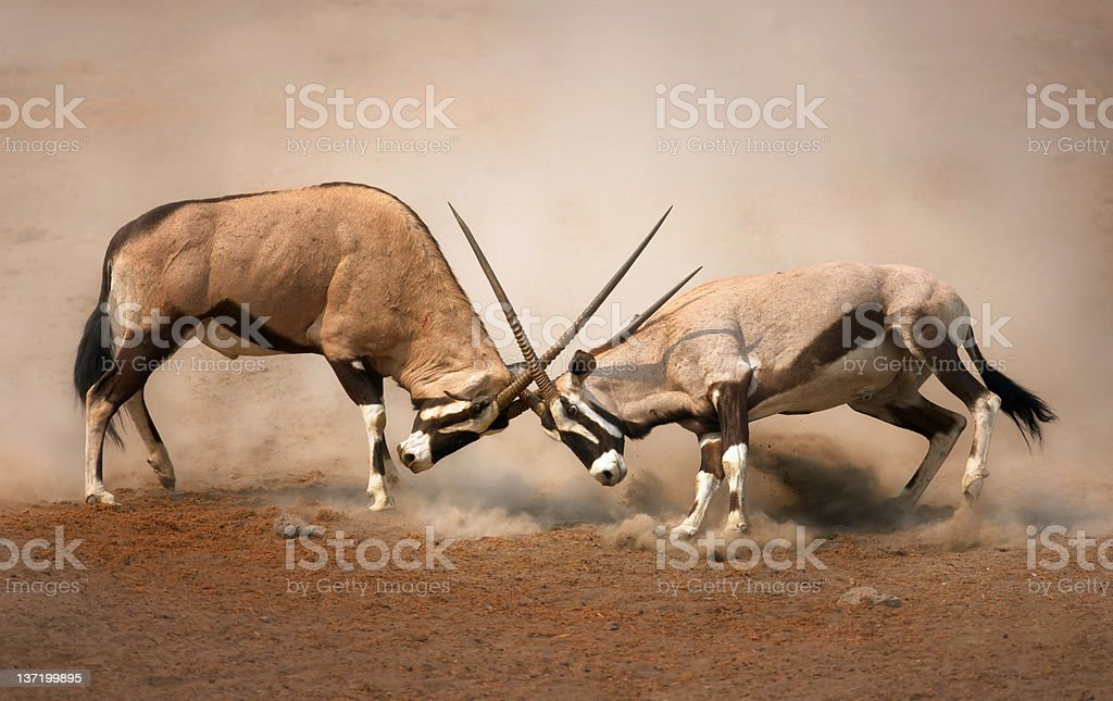 Gemsbok fight stock photo