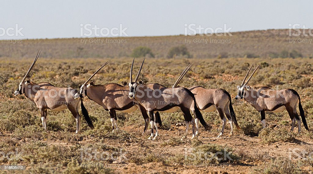 Gemsbok in Karoo area, South Africa stock photo