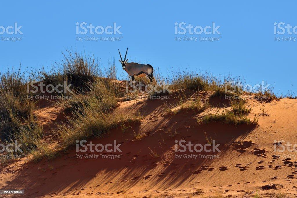 A Gemsbok (Oryx gazella) in Namibia, Africa stock photo