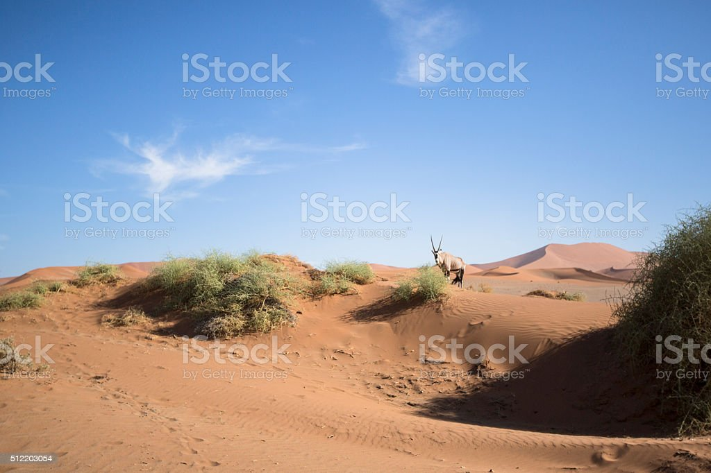 Gemsbok in the sand dunes of Sossusvlei. stock photo