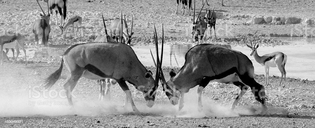Gemsbok lock horns royalty-free stock photo