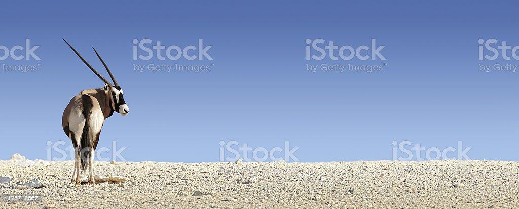 Gemsbok on white rocky soil stock photo