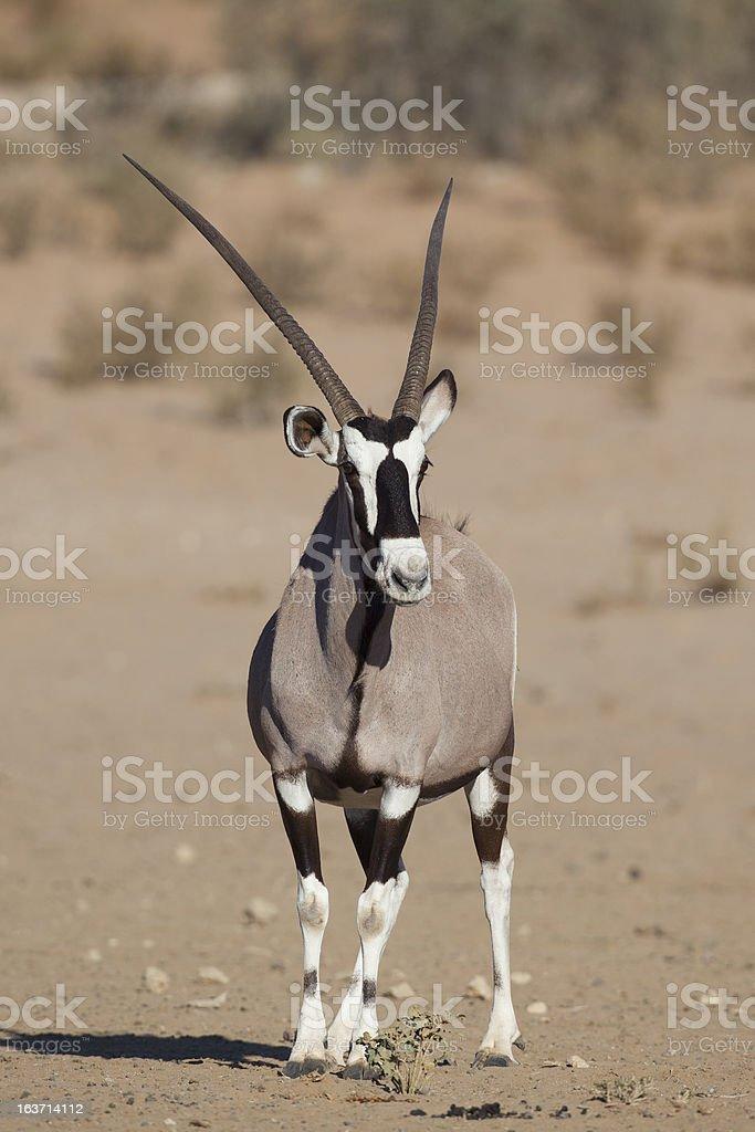 Gemsbok oryx in the Kalahari Desert royalty-free stock photo