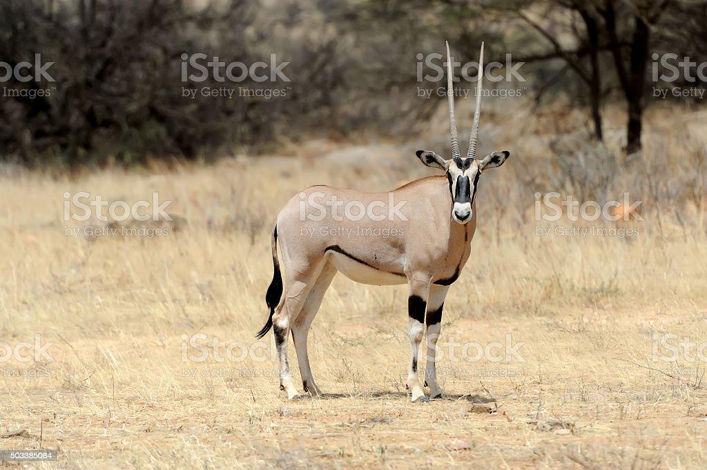 Gemsbok stock photo