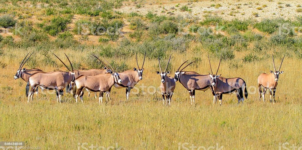 Gemsbok(ORYX) stock photo