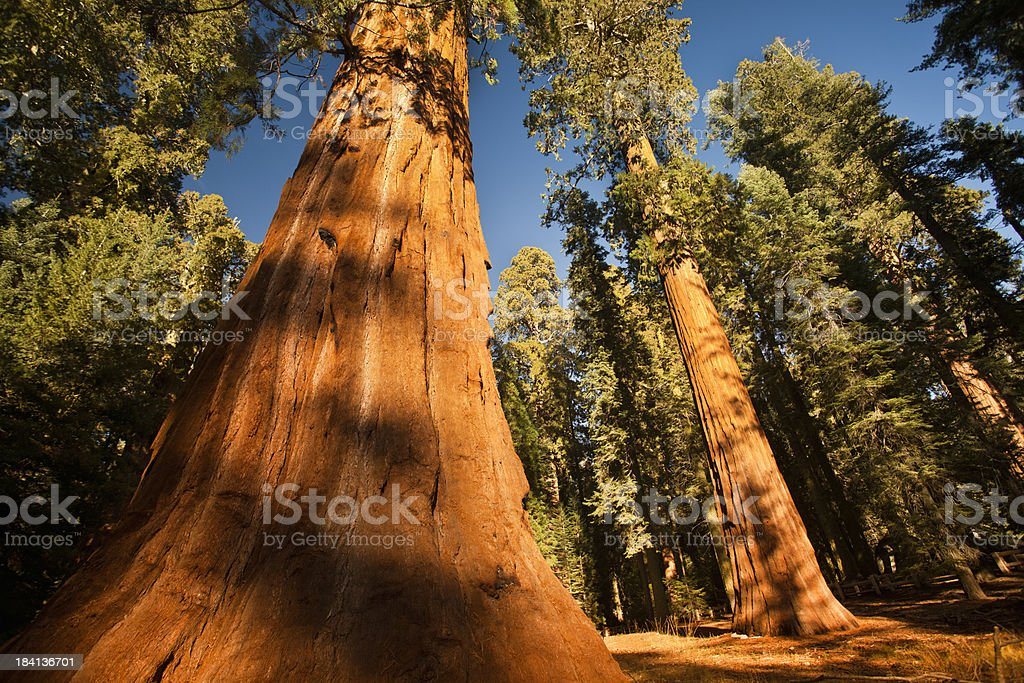 General Grant Grove trees stock photo