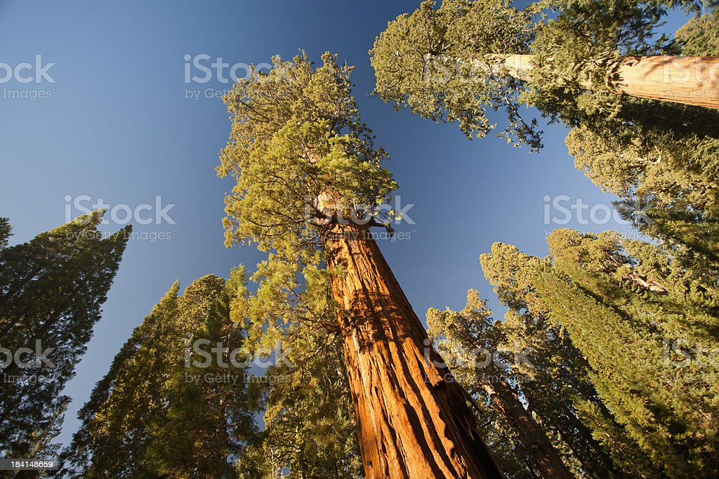 General Grant Grove trees stock photo
