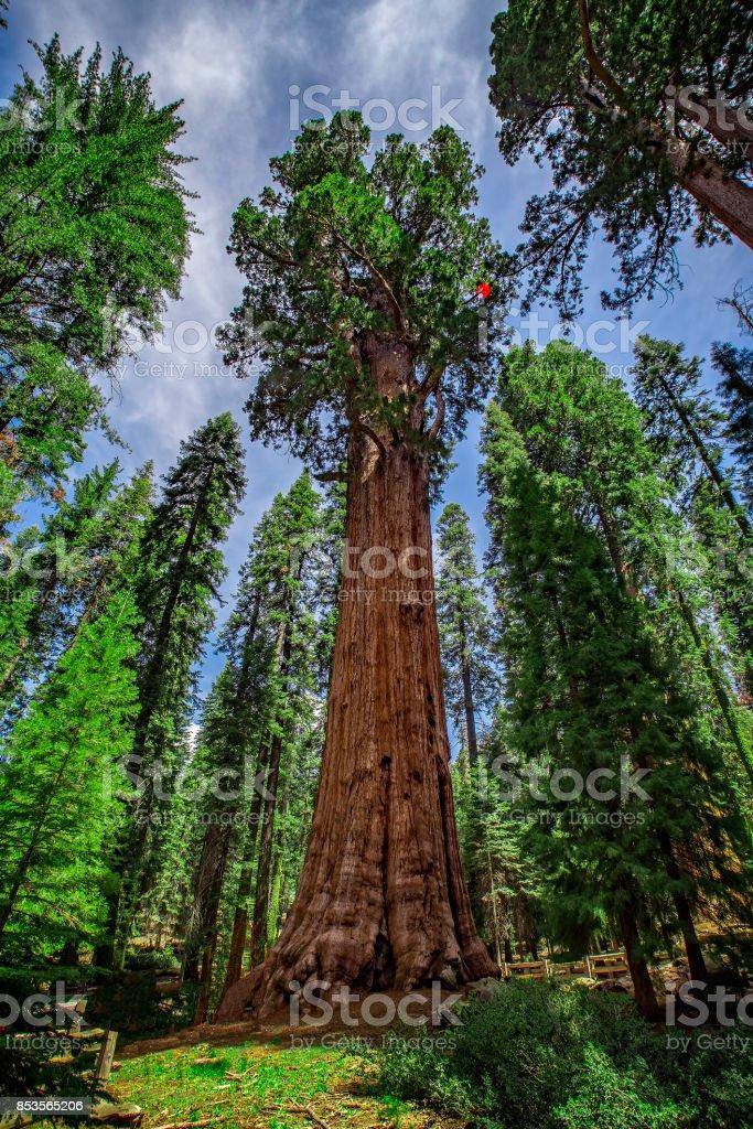 General Sherman Giant Sequoia Tree, Sequoia National Park, California, USA stock photo