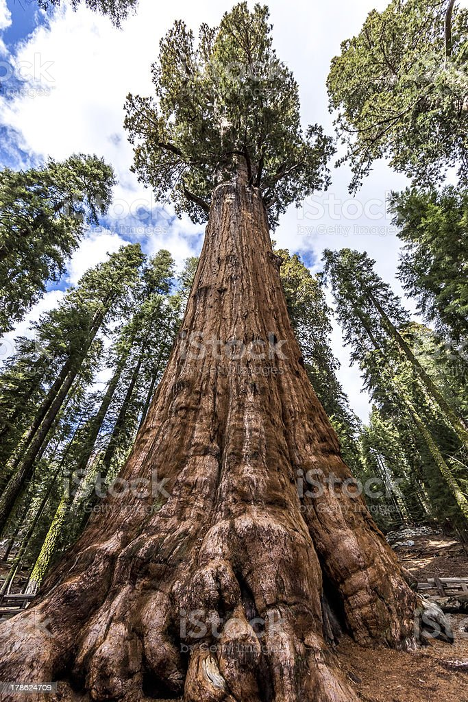 General Sherman tree in Giant sequoia forest stock photo