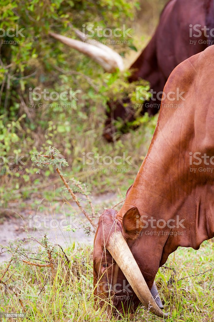 Genetic disorder at horn royalty-free stock photo