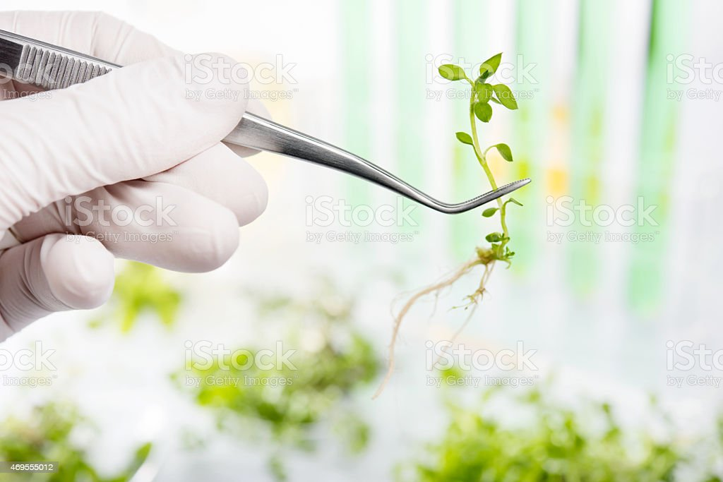 Genetically modified plants in a tweezer stock photo