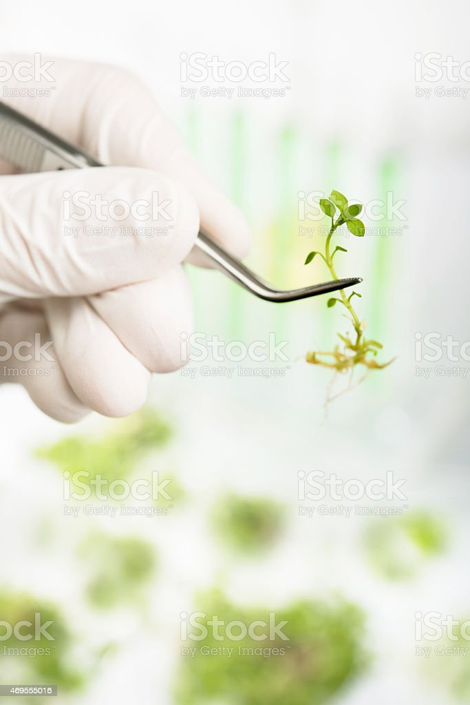 Genetically modified plants. Plant seedlings growing inside of t stock photo