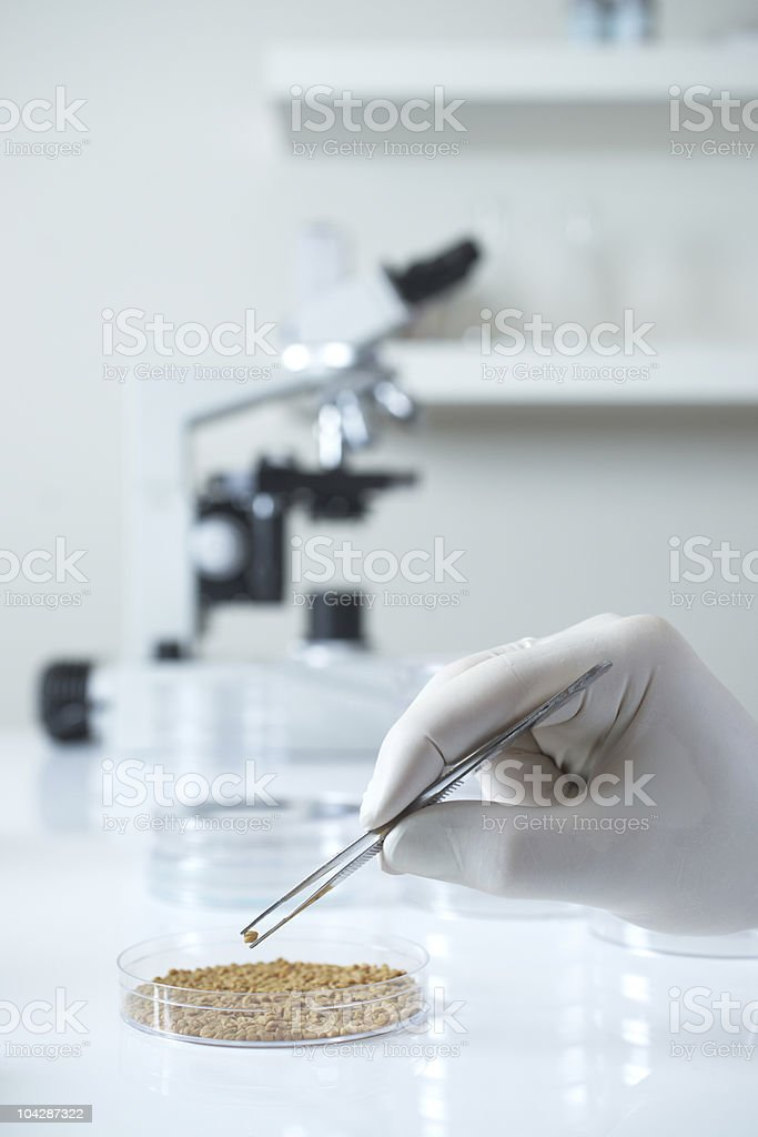 Genetically modified seed in laboratory stock photo