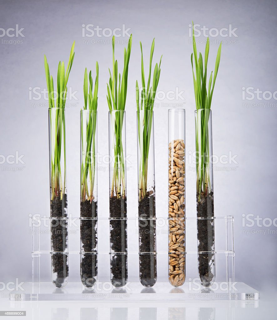 Genetically modified wheat stock photo