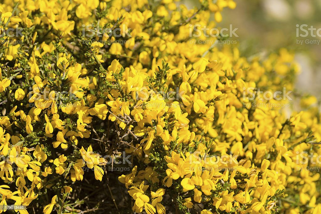 Genista royalty-free stock photo