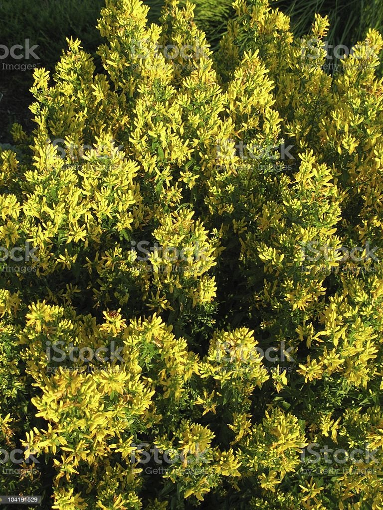 Genista tinctoria (Färber-Ginster) stock photo