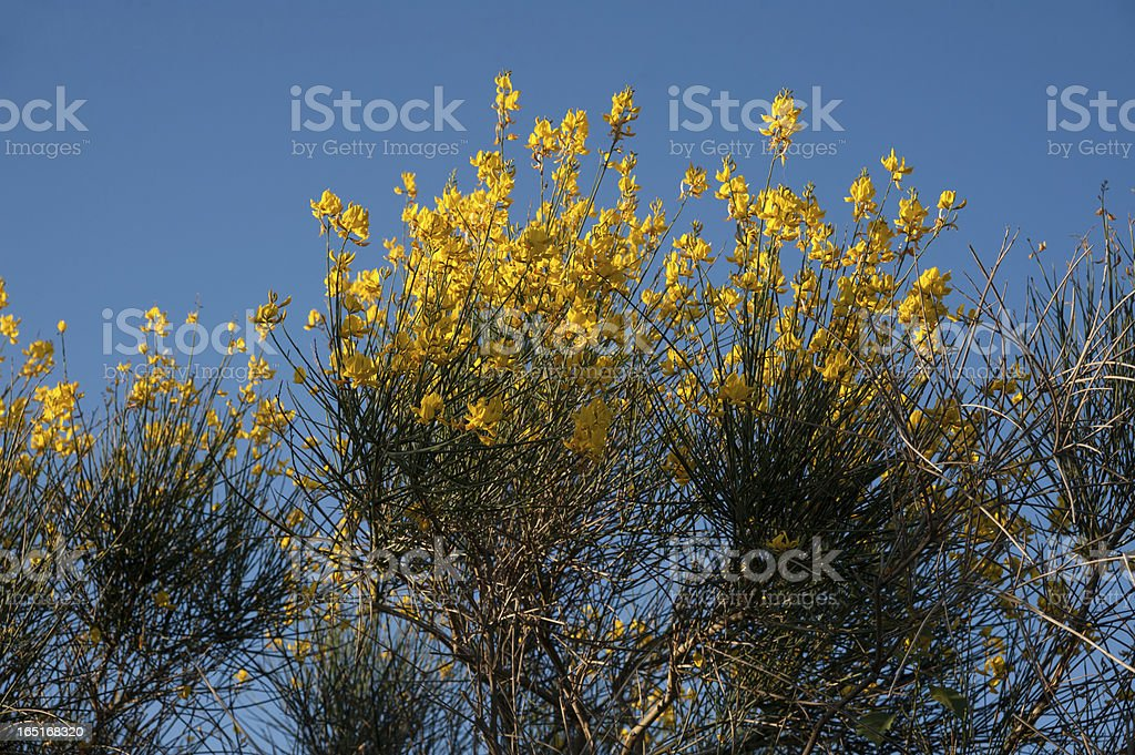 Genista Yellow Flowers Against Blue Sky royalty-free stock photo