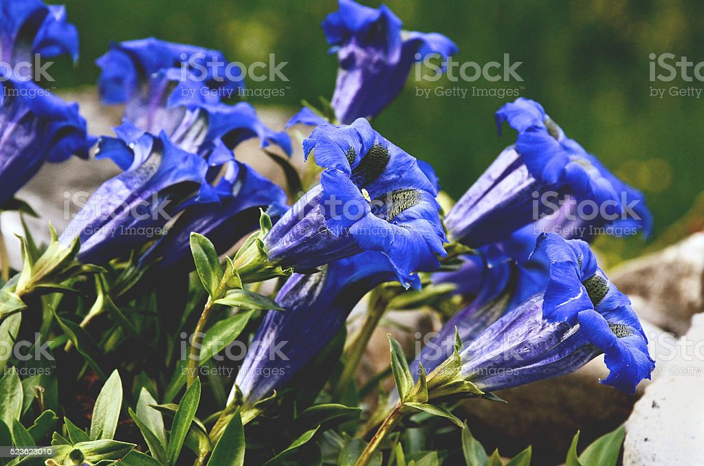 Gentian blue flowers blooming stock photo