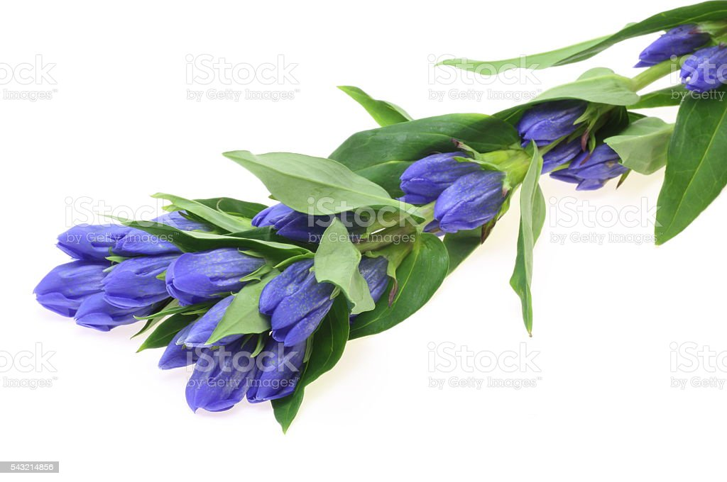 Gentian in a white background stock photo