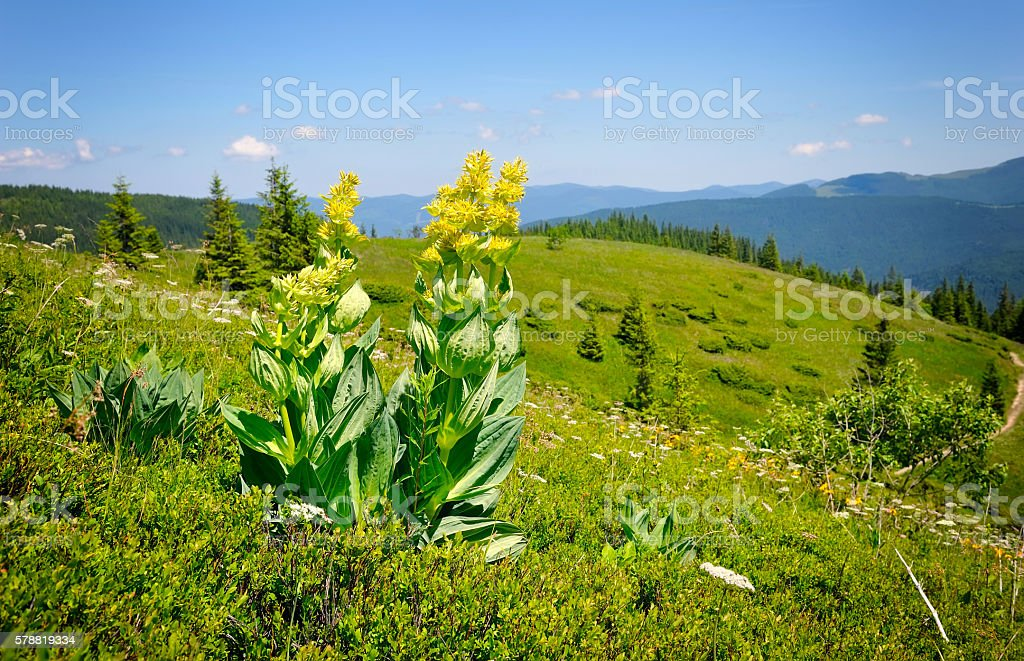 Gentian (Gentiana lutea) on a background of mountains stock photo