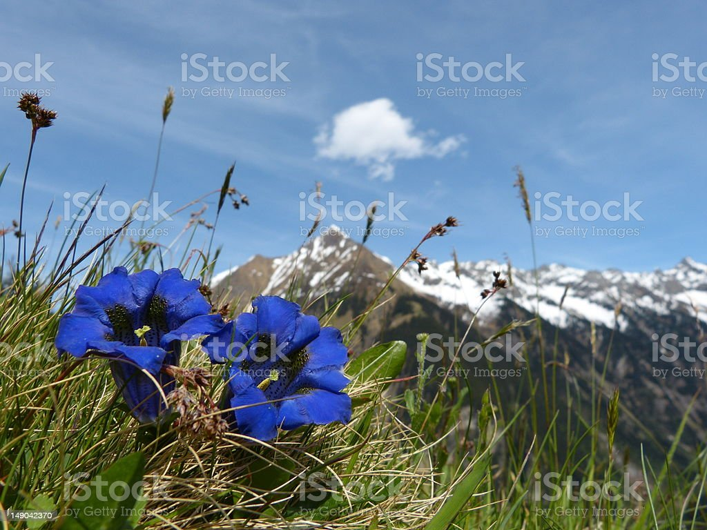 Gentian spring flowers in the Alps royalty-free stock photo
