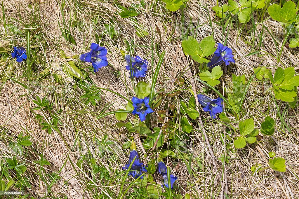 Gentiana, alpine flower in intense blue growing on the Alps stock photo