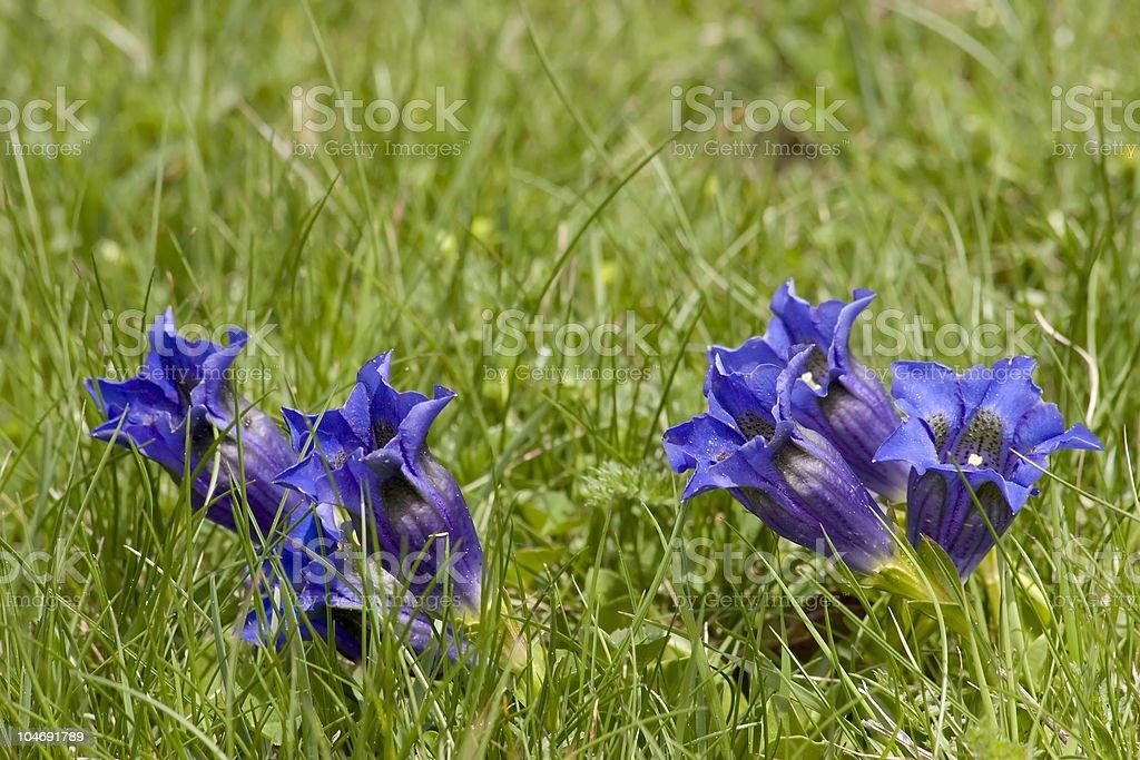 Gentians in grass stock photo
