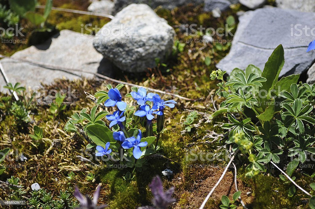 Gentians in the Alps royalty-free stock photo