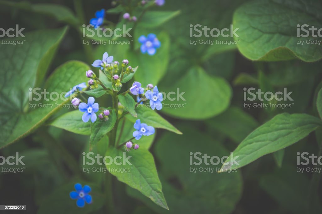 Gentle blue spring forget-me-not. Wildflowers in the garden stock photo