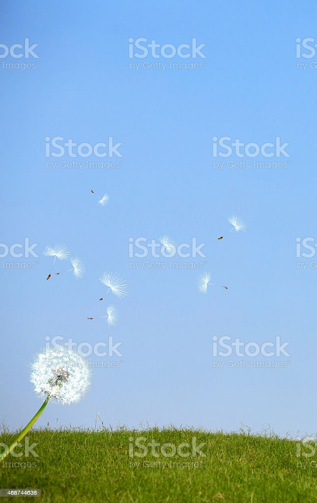 Gentle breeze blowing off a Dandelion. stock photo