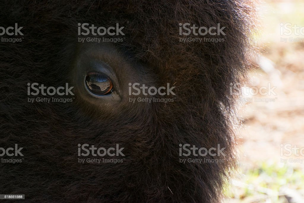 Gentle eye of a large American Bison, or Buffalo stock photo