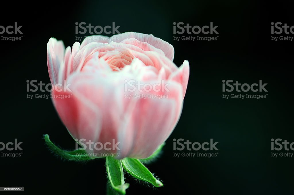 gentle full-blown pink flower stock photo