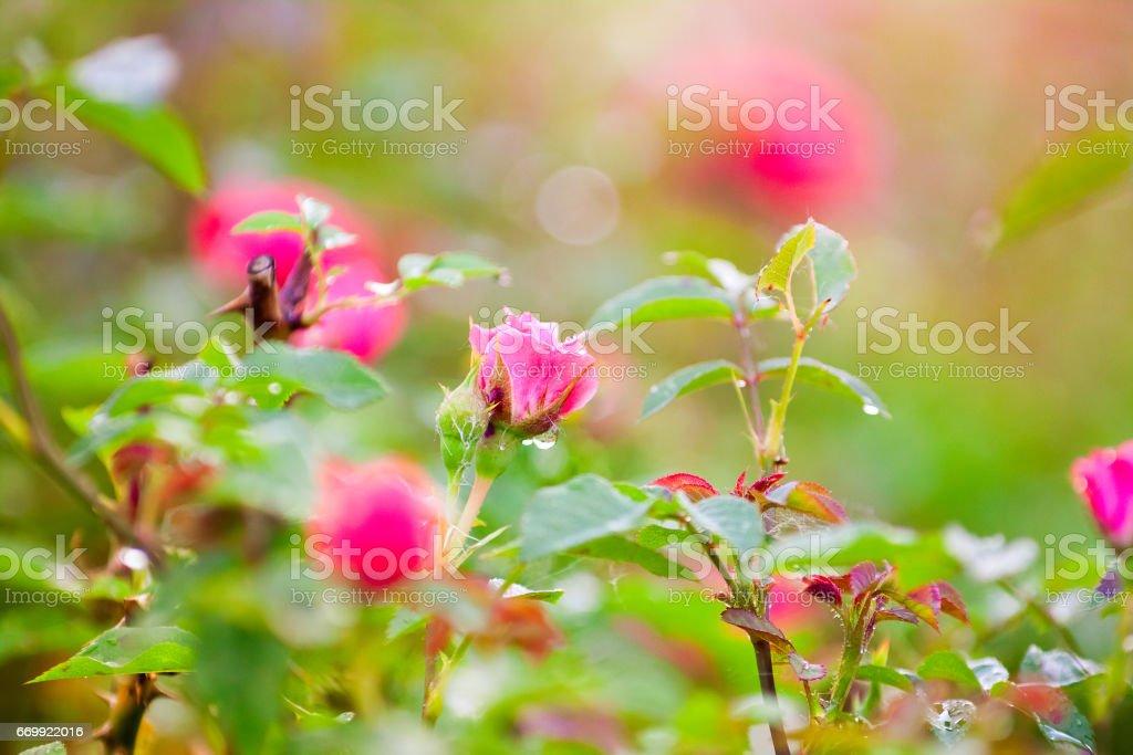 Gentle half-blown pink rose stock photo