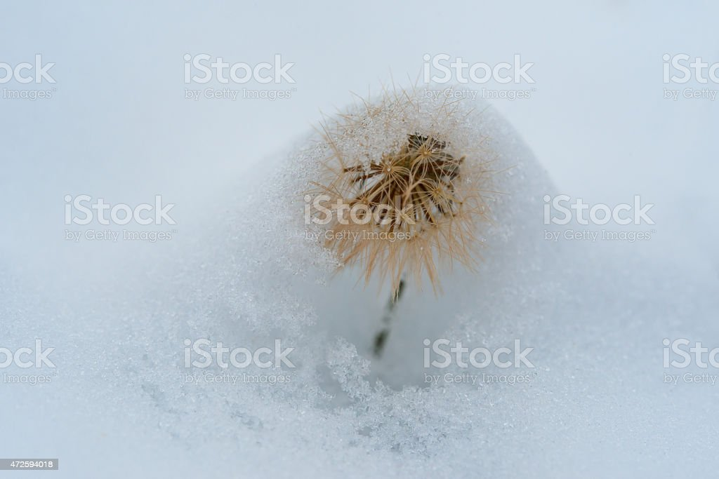 Gentle light picture of fluffy dandelion in winter. stock photo