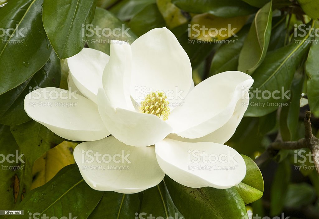 Gentle Magnolia stock photo