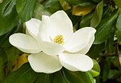 Gentle Magnolia