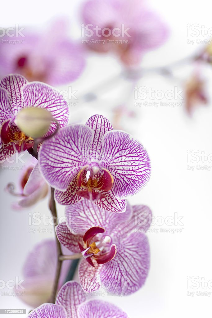 Gentle Orchid royalty-free stock photo