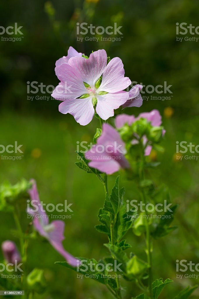 gentle pink flower (lavatera Thuringian) stock photo
