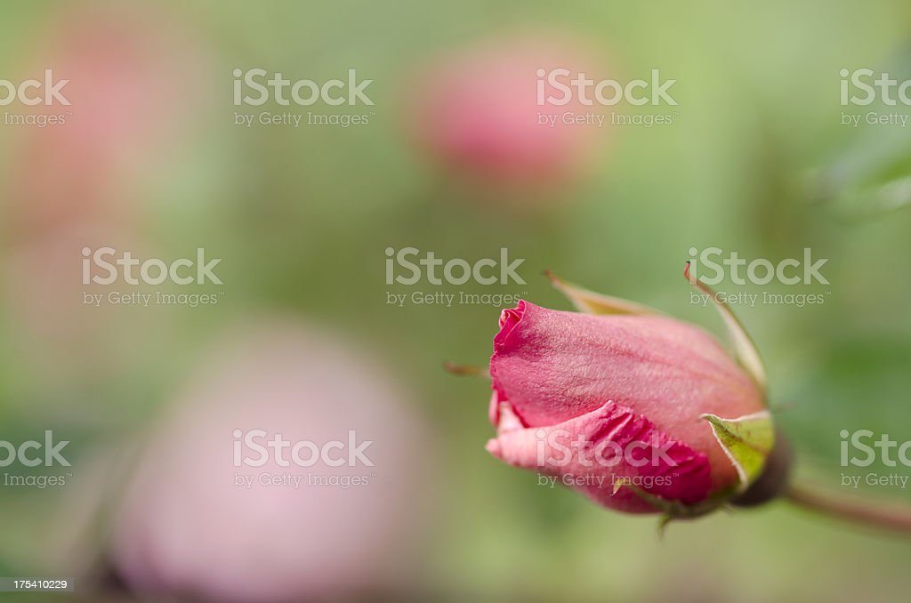 Gentle Pink Rose Close-up Portorose Slovenia stock photo