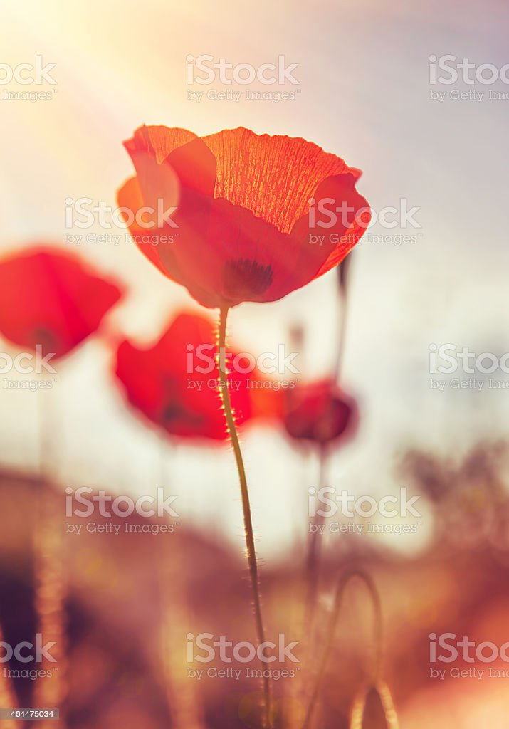Gentle poppies flowers field stock photo