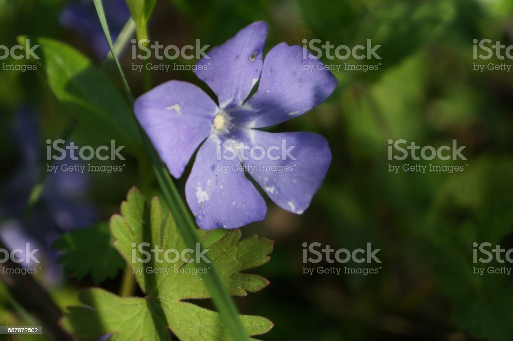 Gentle purple spring flowers stock photo