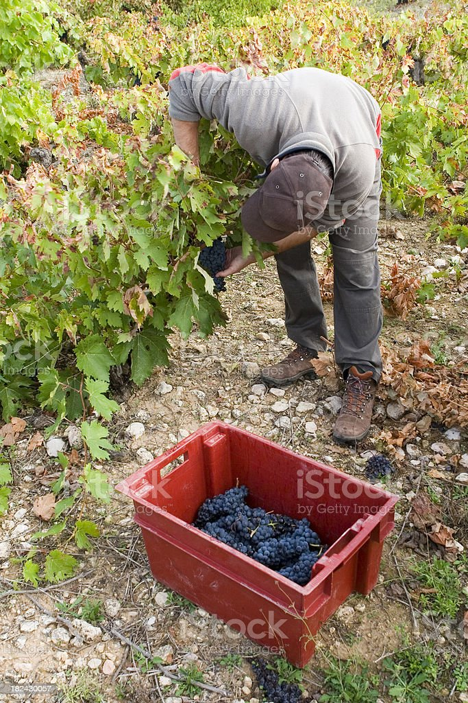 Gently harvest, high quality wines stock photo