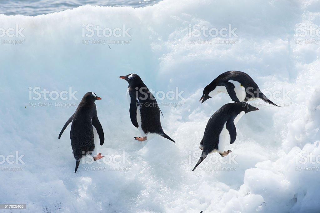 Gentoo and Adelie penguins standing on ice in Antarctica stock photo