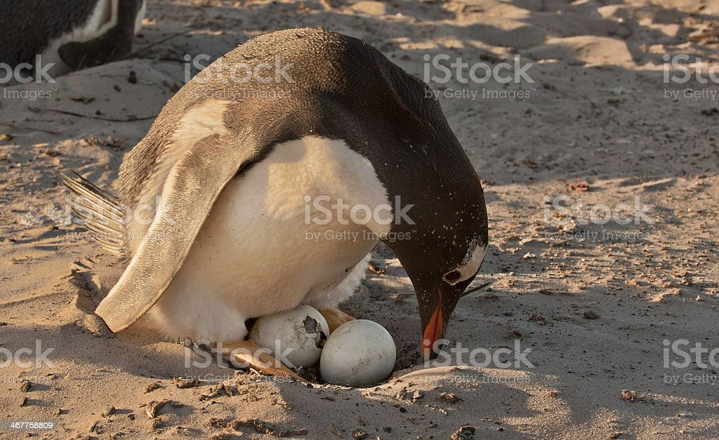 gentoo penguin about to hatch stock photo