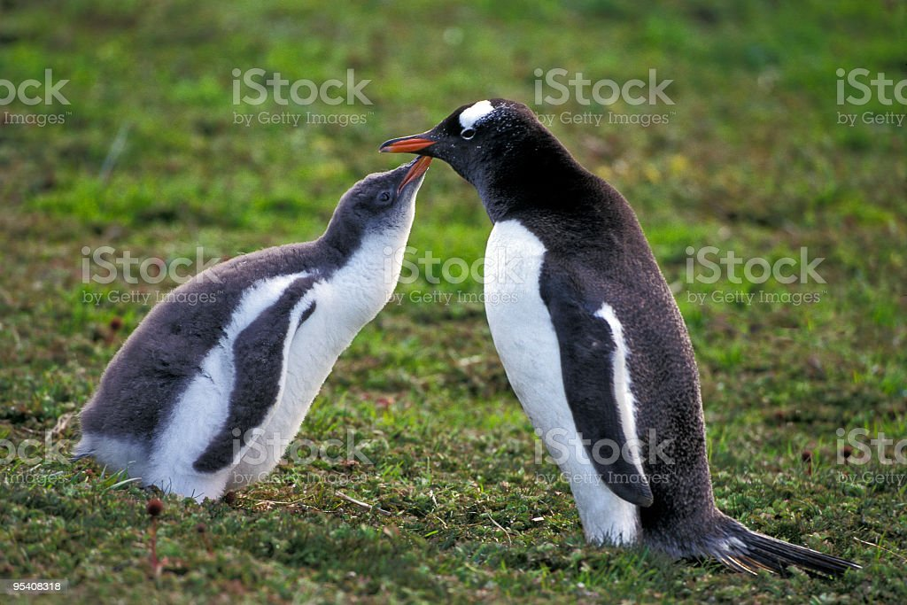 Gentoo Penguin and Chick stock photo