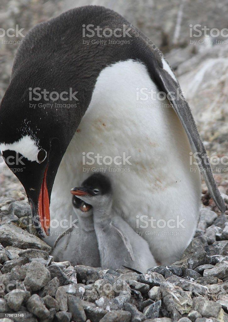 Gentoo Penguin and Chicks in Antarctica stock photo