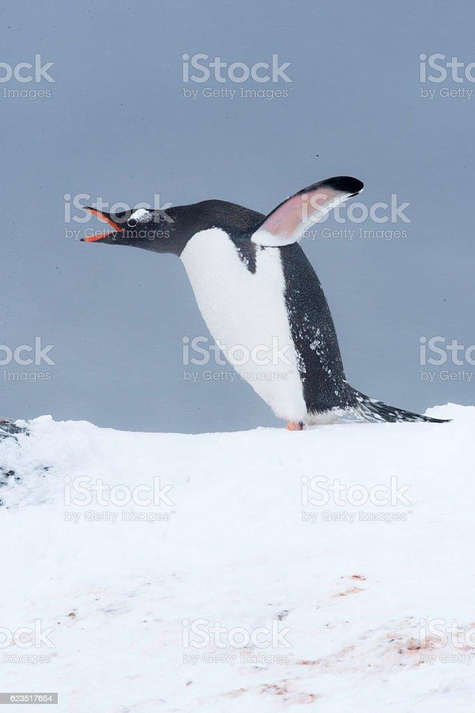 Gentoo Penguin, Antarctica stock photo