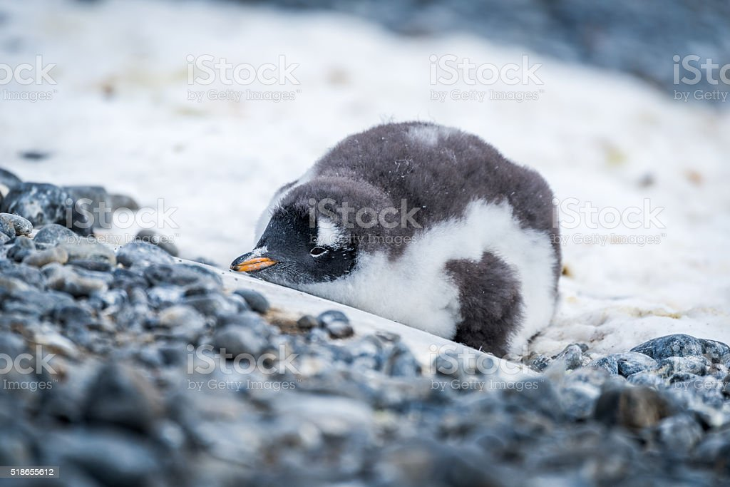 Gentoo penguin chick lying on snowy rocks stock photo