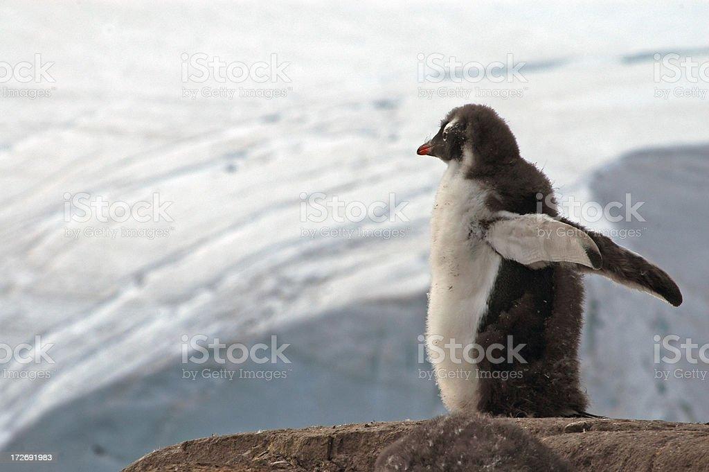 Gentoo Penguin Chick stock photo