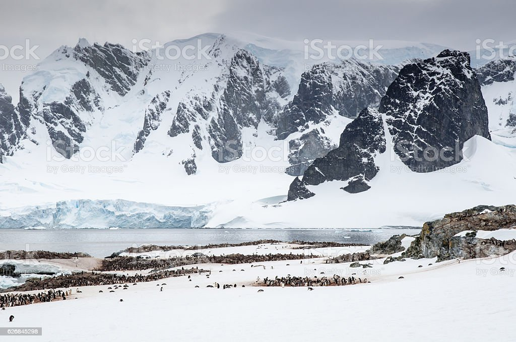 Gentoo Penguin colonies on Cuverville Island Antarctica stock photo